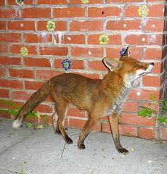 Posing fox?!?