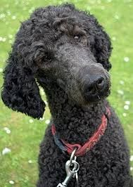 standard poodles - love that face
