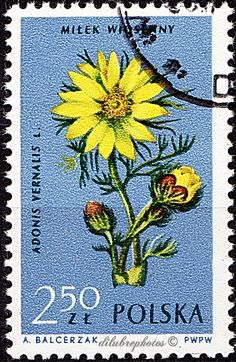 Poland.  FLOWERS IN NATURAL COLOR. ADONIS VERNALIS.  Scott 1077 A383, Issued 1962, Aug. 8, Photo., Perf. 12, 2.50. /ldb.