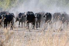 Buffalo #safari #Botswana