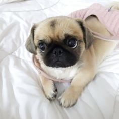 Animal Pictures For Kids, Funny Animal Pictures, Animals For Kids, Baby Pug Dog, Pet Dogs, Pets, Cute Funny Animals, Cute Baby Animals, Animals Kissing