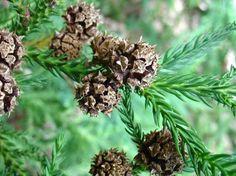 Cryptomeria japonica) japanese cedar