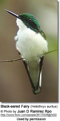 The Black-eared Fairy or Green-chinned Fairy (Heliothryx auritus) is a South American hummingbird that occurs naturally in the Amazon rainforest with a disjunct population in eastern Brazil.