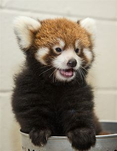 The Nashville Zoo announced this week the birth of a female Red Panda cub on July 3. Learn more at ZooBorns.com and at http://www.zooborns.com/zooborns/2014/09/red-panda-birth-announced-at-nashville-zoo.html