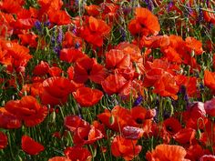 Lovely red poppies in a field. And a great post about Remembrance Day. Read more.