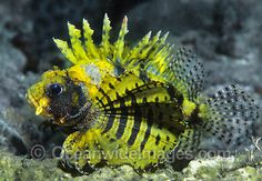 lionfish painting - Google Search