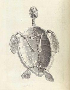 William Cheselden's Osteographia (1733) | The Public Domain Review