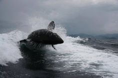 """blackfishsound: """" Photos by Marisol Jenkins of an orca riding in a boat's wake off of Baja California, Mexico. """""""