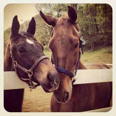My thoroughbred colt & my saddlebred spending some quality time together