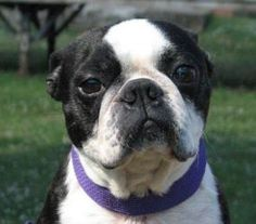 Joey is an adoptable Boston Terrier Dog in Freeport, ME. Joey is a male Boston Terrier that came to our partner shelter in KY as a stray. Joey is now in our rescue in Maine and is ready for his foreve...