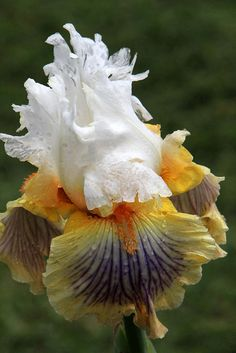 Photographed at the West Tennessee Iris Society. I was on an Iris mission today! Iris Flowers, Types Of Flowers, All Flowers, Pretty Flowers, Planting Flowers, Flowers Garden, Unusual Flowers, Amazing Flowers, Iris Garden
