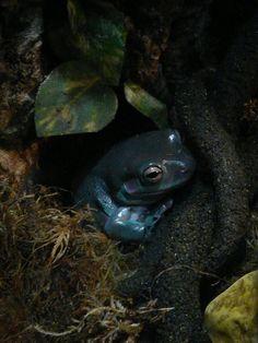White's tree frog/Dumpy frog
