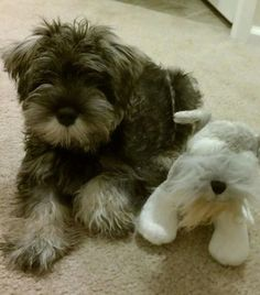 Cosmo next to one of his favorite little toys!    Submission!!!  OMG! Schnauzer puppy with a schnauzer puppy toy?! Too cute.