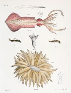 Different types of Squids illustration from Zoology of New york - by James Ellsworth De Kay Shark Illustration, Botanical Illustration, Different Types Of Sharks, Free Hand Drawing, Handmade Tiles, Zoology, New York Public Library, Free Illustrations, Animal Drawings