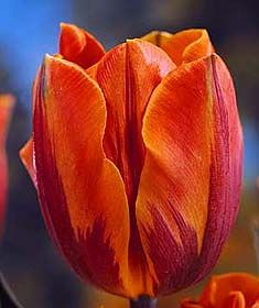 Class 9: Rembrandt Tulips