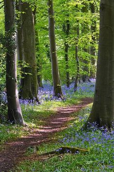 Bluebells in Standish Wood in the Cotswolds near Stroud, Gloucestershire, England, United Kingdom summer forest Flagstone Pathway, Brick Pathway, Walkways, Rustic Pathways, Stone Pathways, Natural Landscaping, Nature Landscape, Forest Path, Walk In The Woods
