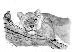I just love the expression on this beautiful Lioness's face. This is a graphite pencil drawing on A3 Bristol Board. http://www.facebook.com/sarahspetportraits.1