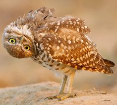 Owl--Wildlife photographer Rob Palmer by Nancy Hart Funny Animal Pictures, Funny Animals, Cute Animals, Animal Fun, Funny Birds, Wild Animals, Animal Yoga, Animal Noses, Funny Owls