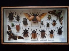 17 Real Asian Tropical Insects Boxed Display Taxidermy Collectables Moths Science Education Lepidopterology Entomology via Etsy