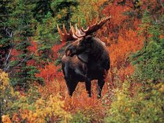 A Moose in the fall colors of New England