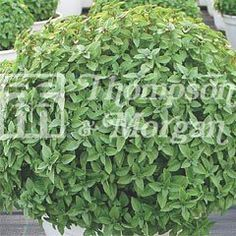 Urban Seed Collection Basil Aristotle on Sale | Fast Delivery | Greenfingers.com