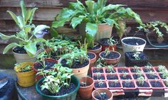 Transplants and seed starters