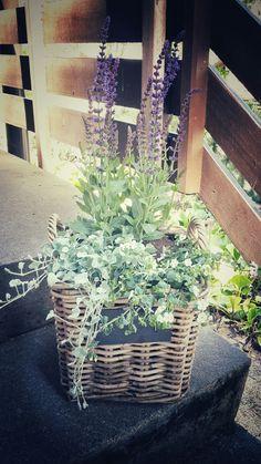 Flower arrangement in a basket with salvia nemorosa, sutera cordata and dichondra argertea.