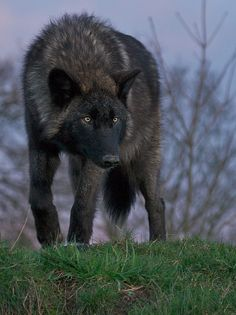 What a beautiful wolf ~ part of the natural balance of perfectin in nature ~ & oh, so handsome!!!