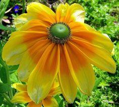 Orange and yellow My Flower, Yellow Flowers, Flower Power, Beautiful Flowers, Simply Beautiful, Virtual Flowers, Mellow Yellow, Bright Yellow, Tropical Plants