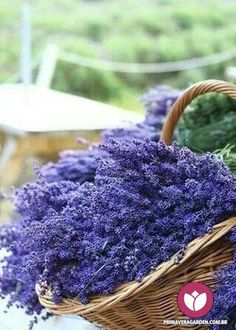Flowers of lavender in the wicker basket