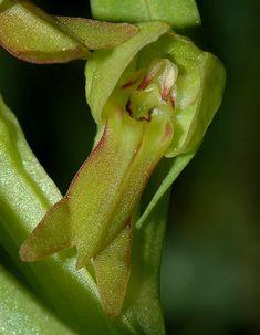 Coeloglossum viride -- Frog Orchid