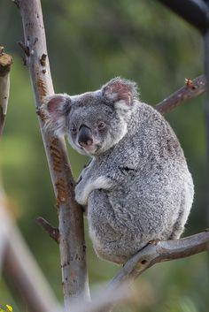 Koala stink-eye (by Official San Diego Zoo) Sloth Bear, Koala Bears, Baby Koala, Beautiful Creatures, Animals Beautiful, Koala Marsupial, Teddy Bear Cartoon, Super Cute Animals, San Diego Zoo