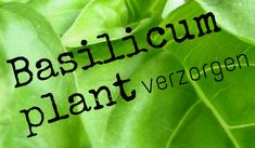 simple thoughts basilicumplant verzorgen Diy Greenhouse, Permaculture, Vegetable Garden, Natural Remedies, Plant Leaves, The Cure, Essential Oils, Spices, How To Apply