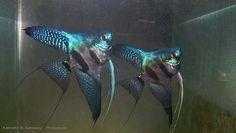 Pinoy Ken Kennedy Angelfish Zebra | Pinoy Angelfish http://www.aquaforum.ua/showthread.php?t=50632