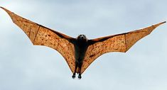 giant golden crowned flying fox... largest bat in the world... I want one