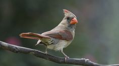 Female Cardinal perched in the garden ready for action. Let's go Cardinals. It's a new day.
