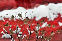 wintry red