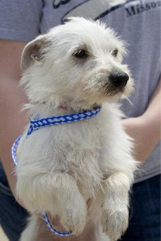 wire hair jack russell terrier | Published: 04/17/2012