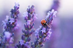 lavanda France by JnSep #nature #photooftheday #amazing #picoftheday