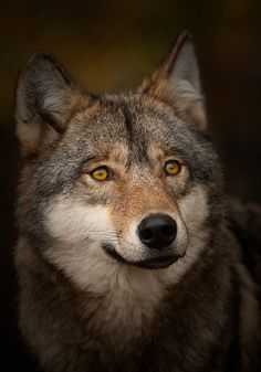 Portrait of an elderly grey wolf (Canis lupus)