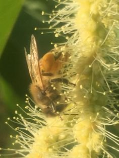 Bee on chestnut flower http://ift.tt/2qBuw5C