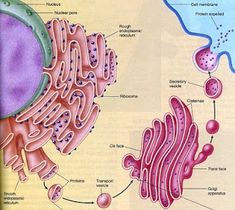 Rozaini Othman (Guru Cemerlang Biologi): The production of extracellular enzymes Asexual Reproduction In Plants, Human Digestive System, Science Revision, Plasma Membrane, Plant Tissue, Vascular Plant, The 5th Of November, Microbiology, Plays