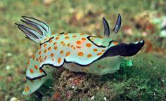 SEA SLUG (Chromodoris annulata) - ©divemecressi Chromodoris annulata is a species of sea slug, a very colorful dorid nudibranch, a shell-less marine gastropod mollusk in the family Chromodorididae. Chromodoris annulata is a large smooth pale-bodied...