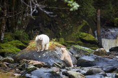 Spirit Bear Adventures - Visit the Great Bear Rainforest. Both yesterday and today our guests have had the pleasure of spending some time with this beautiful snowy white Spirit Bear mother and Spirit Bear cub. Photos by guide Cael Cook.
