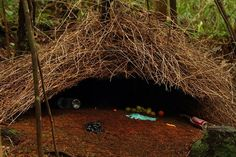 Bower birds are artists as each nest is different and each bird decides which items are worth collecting. Description from pinterest.com. I searched for this on bing.com/images