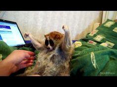 1000+ images about loris heaven on Pinterest | Slow loris ...