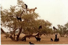This is unexpected - yet, those are goats in trees.