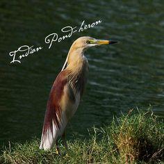 Indian Pond Heron #GBWC #SaveBirds #BirdConservation #SaveLife #GujaratBirds #BirdLife #Birds