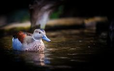 Ringed teal / Rotschulterente by Thorsten Frisch on 500px
