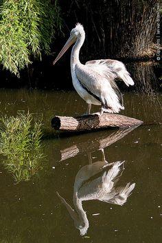 Pelican & reflection in Vogelpark Walsrode Pelican Bird, Boat Shed, Australian Birds, Water Reflections, Mundo Animal, Exotic Birds, The Visitors, Sea Creatures, Beautiful Birds